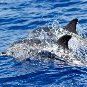 Spotted dolphins and spinner dolphins