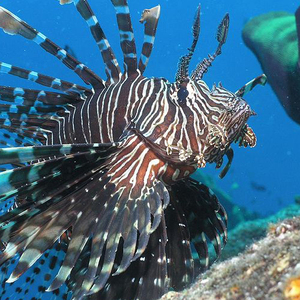 Lionfish small