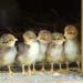 Chicks.square