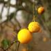 Oranges.square