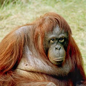 Orangutan.square