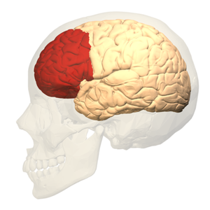 Prefrontal.brain.square