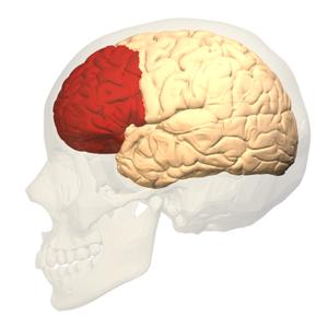 Prefrontal.brain.square