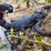 Black scorpion.square