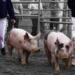 Swineflu pigs.square