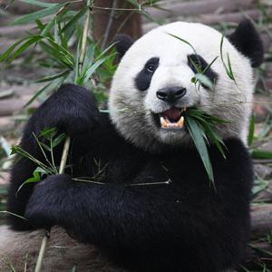 Panda.square