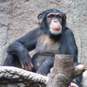 Chimpanzee.square