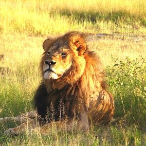 2.cecil the lion square
