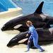 1024px killer whales   ocean show %288782811375%29