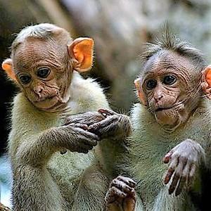 South india monkeys %2898369788%29
