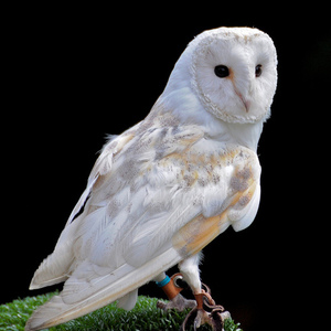 Better barn owl