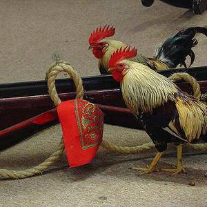 Soowoo rooster