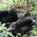 Chimpanzee families