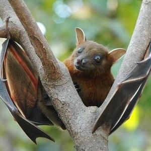 1120px lesser short nosed fruit bat %28cynopterus brachyotis%29