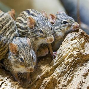 Mice morphing at warp speed