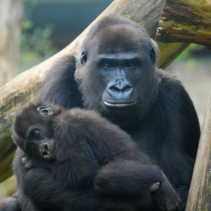 War and gorillas in congo