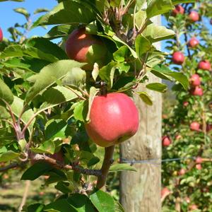 Biodiversity in apples
