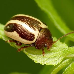 Pretty beetle