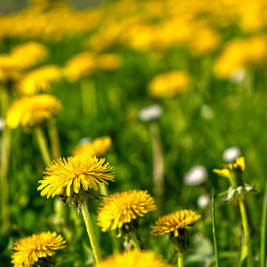 Dandelions in the field
